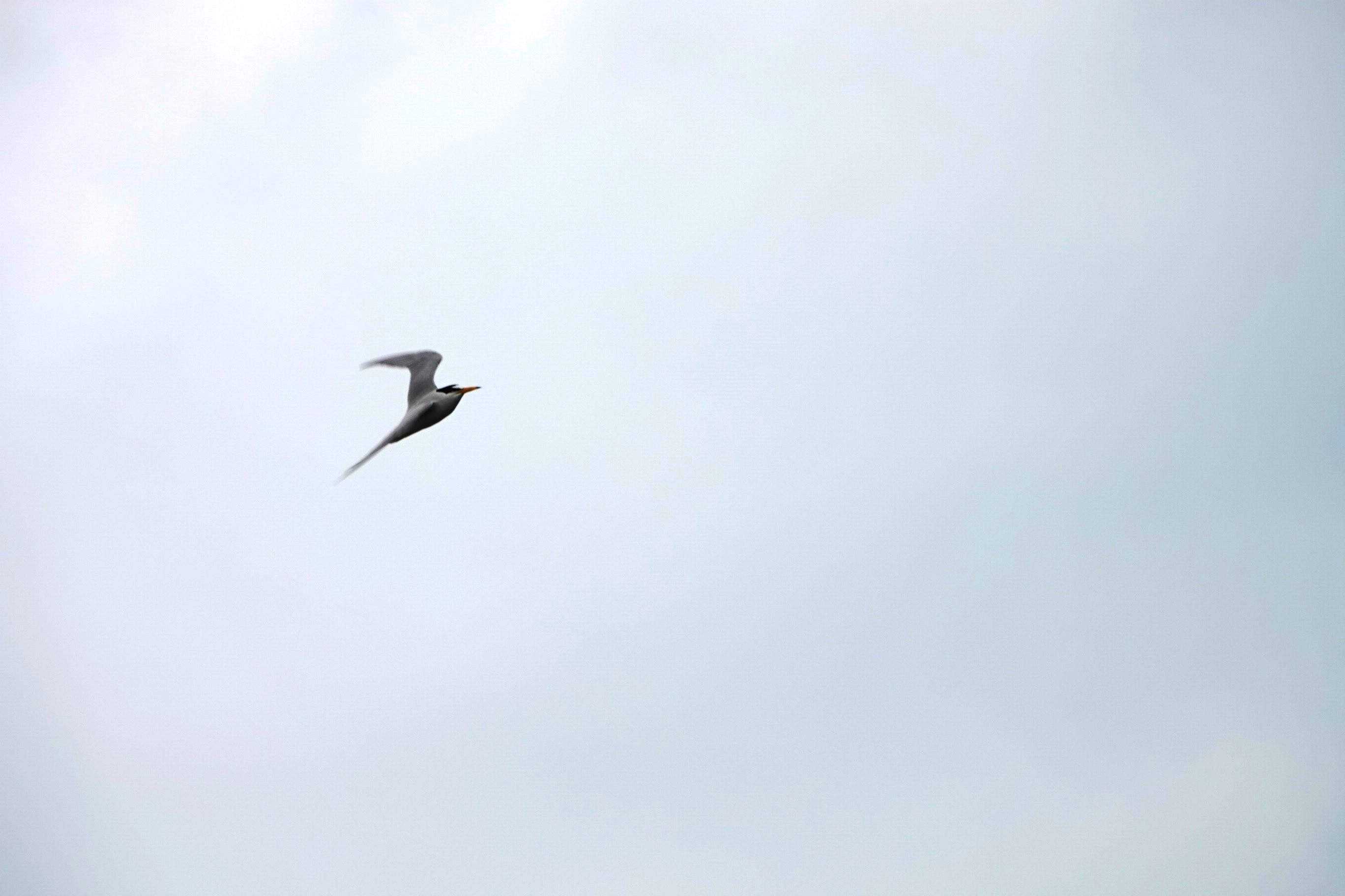 野鳥トレ 209 コアジサシ_b0227552_19415444.jpg