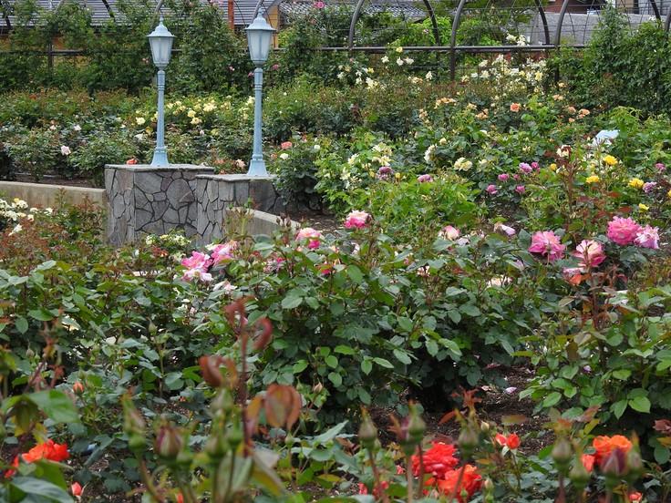 『大野町バラ公園のバラとサクランボ』_d0054276_20151782.jpg