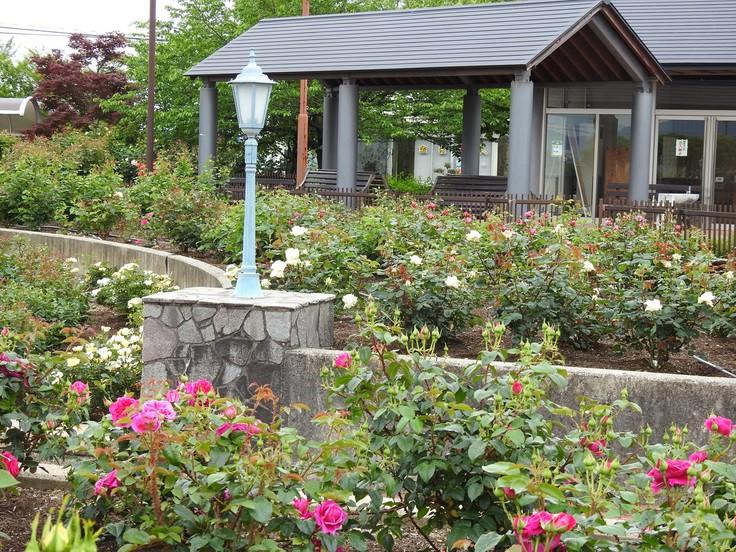 『大野町バラ公園のバラとサクランボ』_d0054276_20153338.jpg