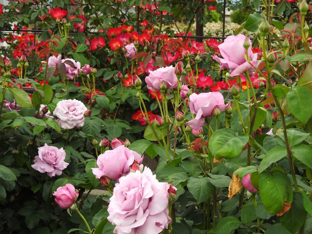 『大野町バラ公園のバラとサクランボ』_d0054276_20172343.jpg