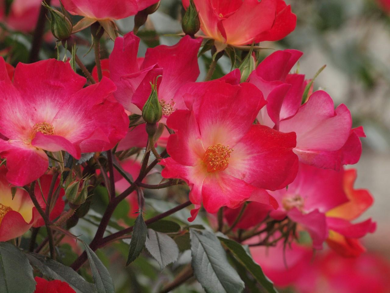 『大野町バラ公園のバラとサクランボ』_d0054276_20182375.jpg