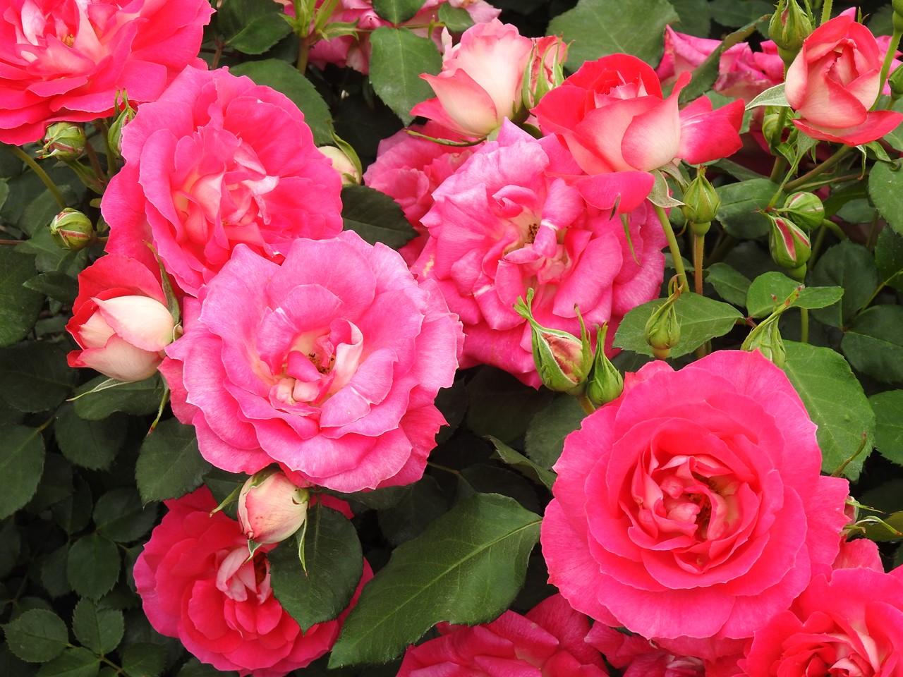 『大野町バラ公園のバラとサクランボ』_d0054276_20183799.jpg