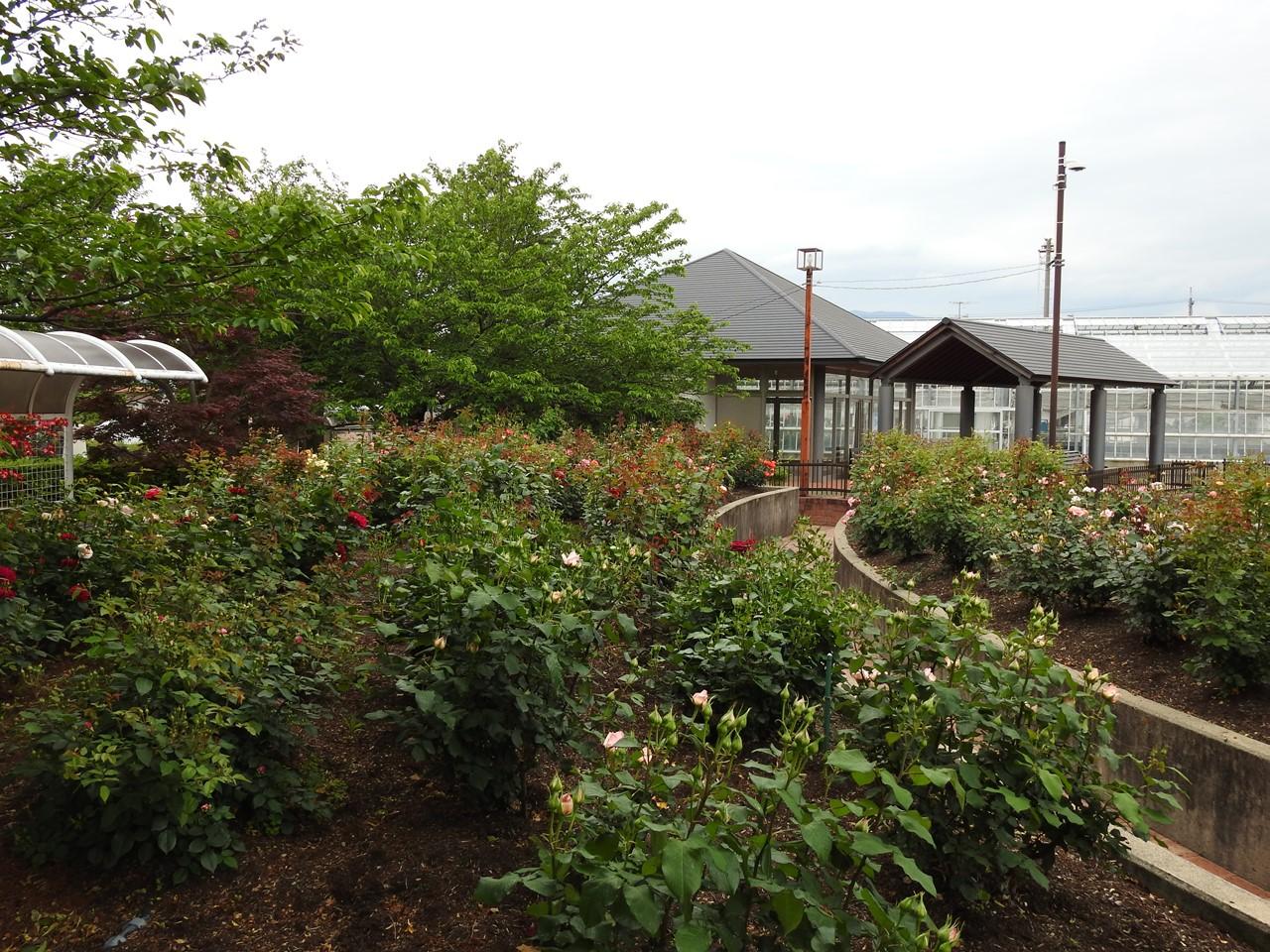 『大野町バラ公園のバラとサクランボ』_d0054276_20192090.jpg
