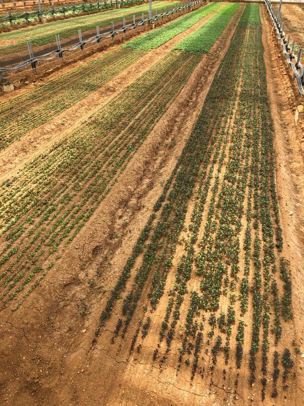 土耕栽培のリーフとハーブ_b0176185_18163748.jpg