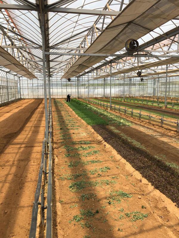 土耕栽培のリーフとハーブ_b0176185_18163985.jpg