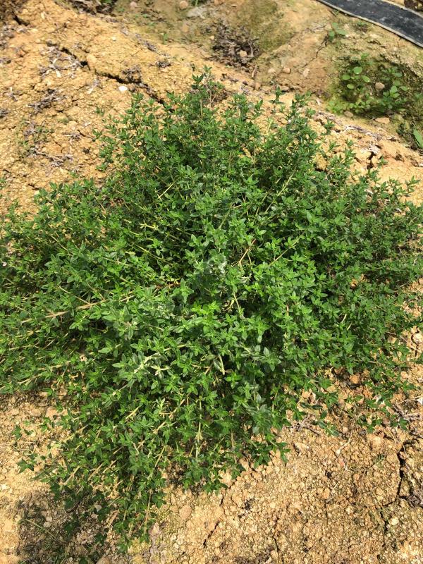 土耕栽培のリーフとハーブ_b0176185_18164384.jpg