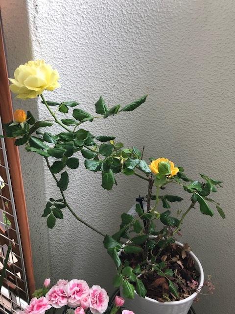 ベランダの花_f0204295_09524011.jpg