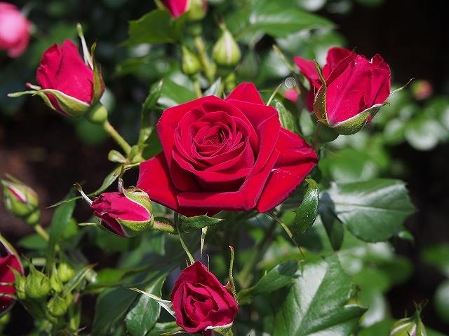 香る「ナエマ」と「深紅のスプレーバラ」_e0289203_08531711.jpg