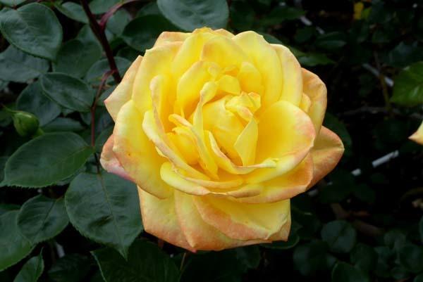 植物園再開 やっとバラに会えた_e0048413_23174519.jpg