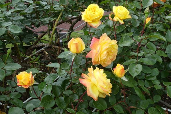 植物園再開 やっとバラに会えた_e0048413_23175262.jpg