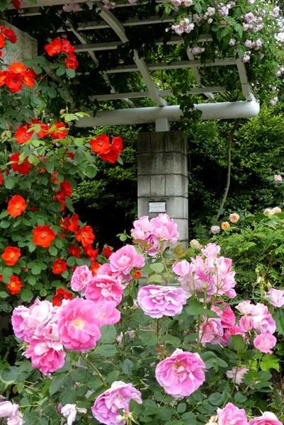 植物園再開 やっとバラに会えた_e0048413_23180599.jpg