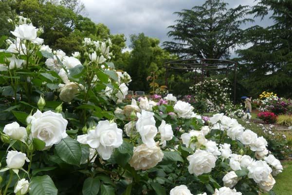 植物園再開 やっとバラに会えた_e0048413_23181842.jpg