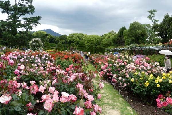 植物園再開 やっとバラに会えた_e0048413_23183137.jpg
