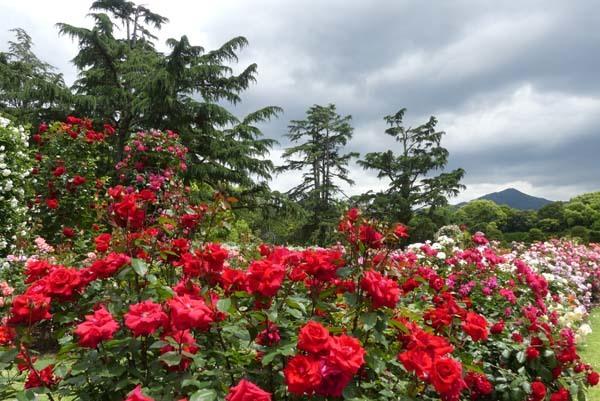 植物園再開 やっとバラに会えた_e0048413_23184134.jpg