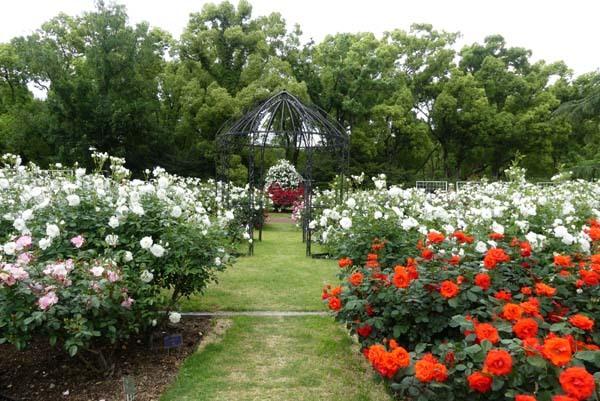 植物園再開 やっとバラに会えた_e0048413_23185010.jpg