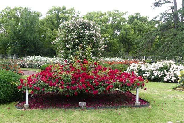 植物園再開 やっとバラに会えた_e0048413_23185517.jpg