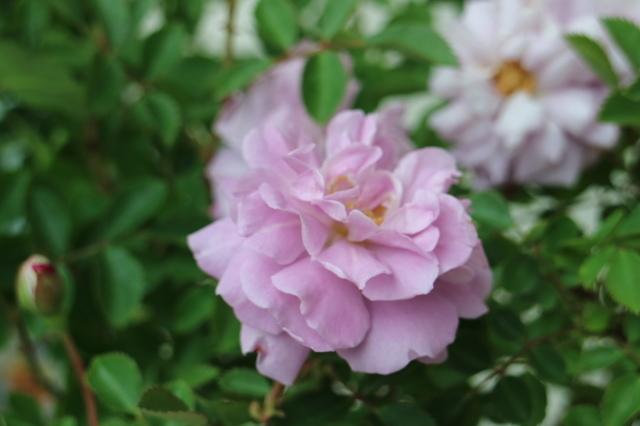 素敵に咲きました~リトル・マーメイド~♡ 今年の誕生日_e0397815_22420429.jpg