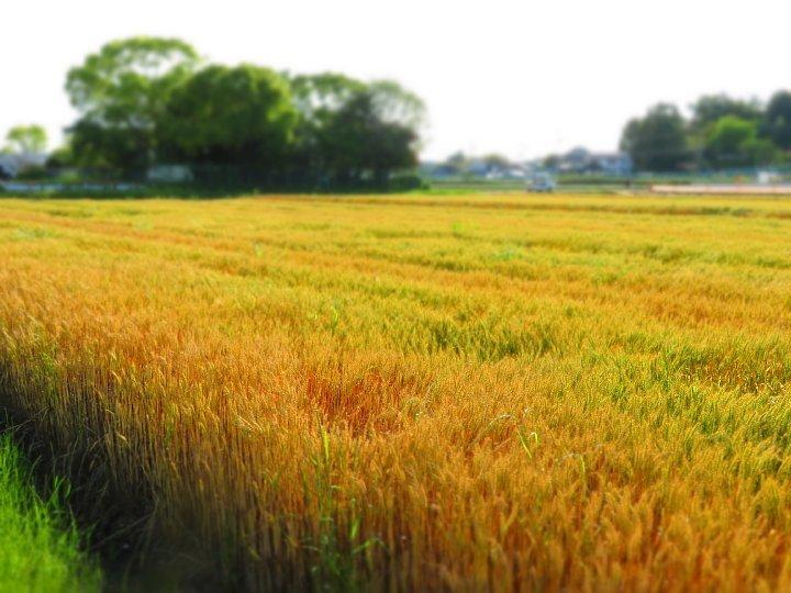2020年5月25日 黄金色の麦畑  !(^^)!_b0341140_18510226.jpg