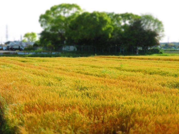 2020年5月25日 黄金色の麦畑  !(^^)!_b0341140_18511649.jpg