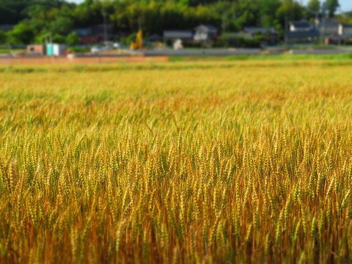2020年5月25日 黄金色の麦畑  !(^^)!_b0341140_18513379.jpg