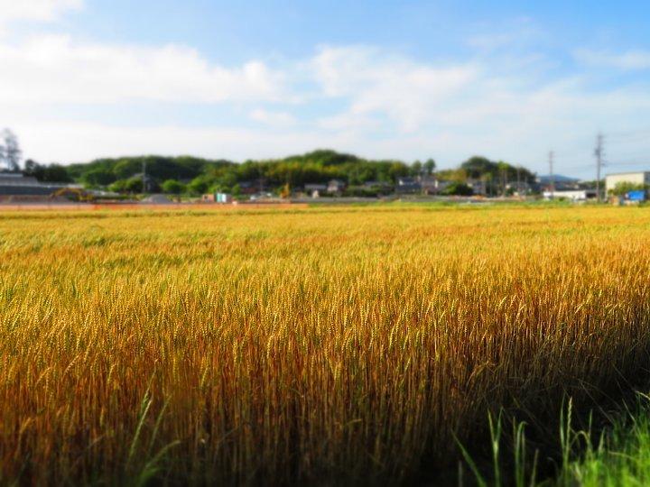 2020年5月25日 黄金色の麦畑  !(^^)!_b0341140_18514348.jpg