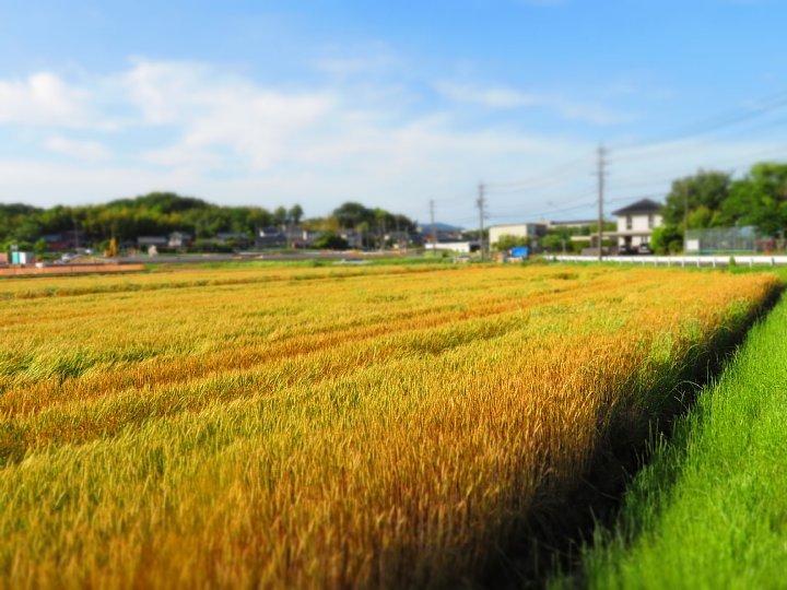 2020年5月25日 黄金色の麦畑  !(^^)!_b0341140_18515233.jpg
