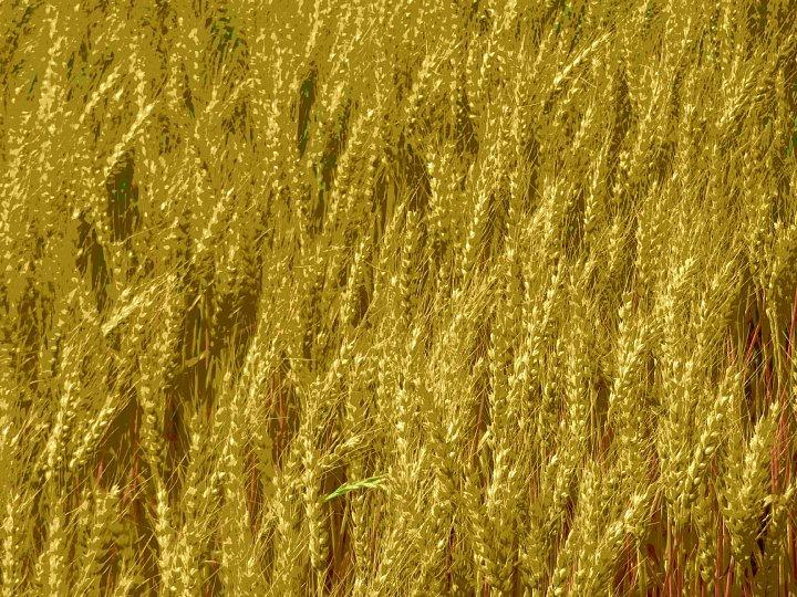 2020年5月25日 黄金色の麦畑  !(^^)!_b0341140_18521085.jpg