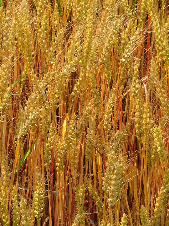 2020年5月25日 黄金色の麦畑  !(^^)!_b0341140_18523349.jpg