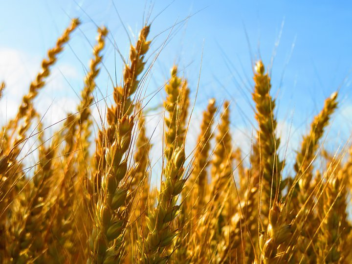 2020年5月25日 黄金色の麦畑  !(^^)!_b0341140_18525277.jpg