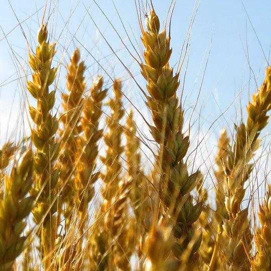 2020年5月25日 黄金色の麦畑  !(^^)!_b0341140_18530494.jpg