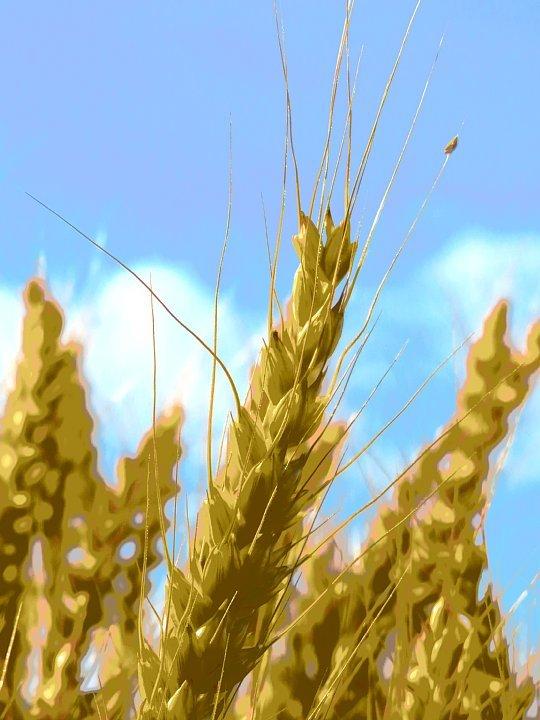 2020年5月25日 黄金色の麦畑  !(^^)!_b0341140_18531253.jpg