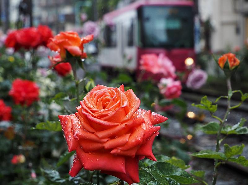 大塚のバラと最中_a0003650_10282297.jpg