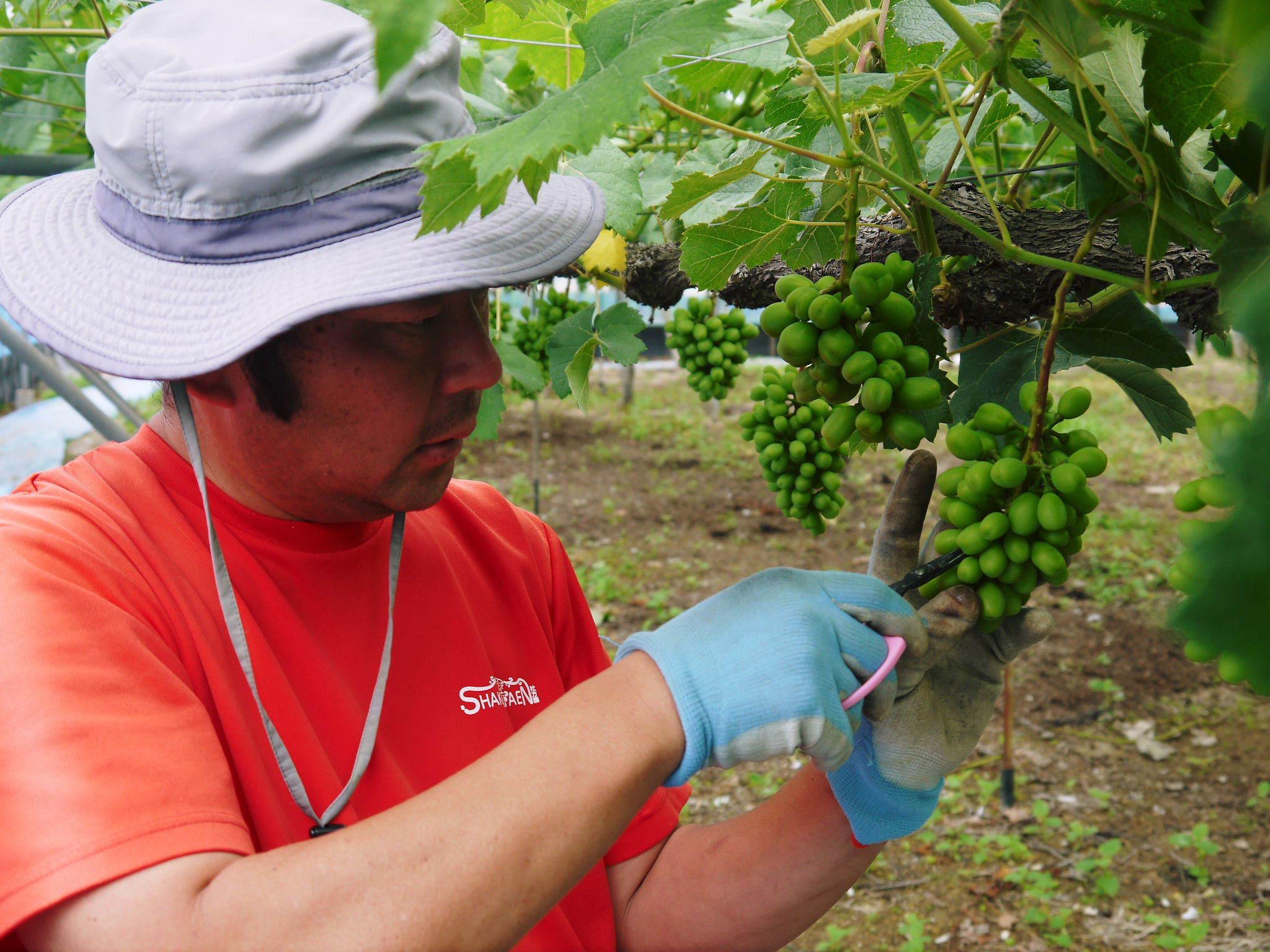 熊本ぶどう 社方園 今年(2020年)は例年以上の大粒に仕上げるべく摘粒作業が行われています(前編)_a0254656_18220121.jpg