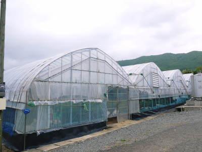 熊本ぶどう 社方園 今年(2020年)は例年以上の大粒に仕上げるべく摘粒作業が行われています(前編)_a0254656_18254085.jpg
