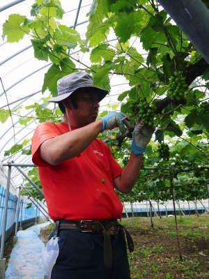熊本ぶどう 社方園 今年(2020年)は例年以上の大粒に仕上げるべく摘粒作業が行われています(前編)_a0254656_18395820.jpg