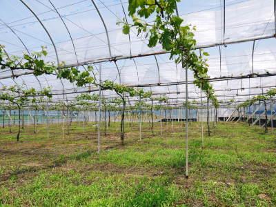 熊本ぶどう 社方園 今年(2020年)は例年以上の大粒に仕上げるべく摘粒作業が行われています(前編)_a0254656_19001742.jpg