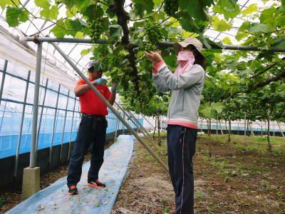 熊本ぶどう 社方園 今年(2020年)は例年以上の大粒に仕上げるべく摘粒作業が行われています(前編)_a0254656_19163531.jpg