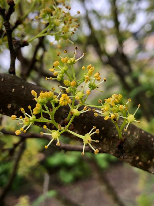 山椒の花❣️_b0093660_14502343.jpg