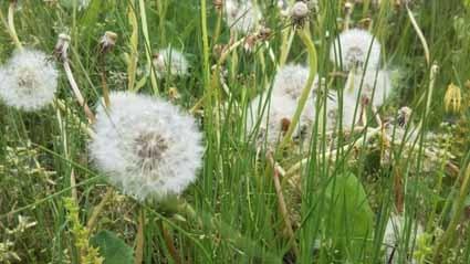 タンポポの綿毛は、5月にとてもたくさん見ることができます。_b0126182_23342334.jpg