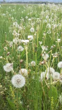タンポポの綿毛は、5月にとてもたくさん見ることができます。_b0126182_23342800.jpg
