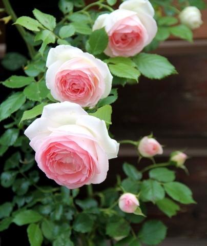◆愛らしいジャスミーナとピエールドロンサール_e0154682_23013253.jpg