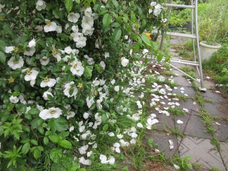 雨の庭畑_a0203003_08412200.jpg