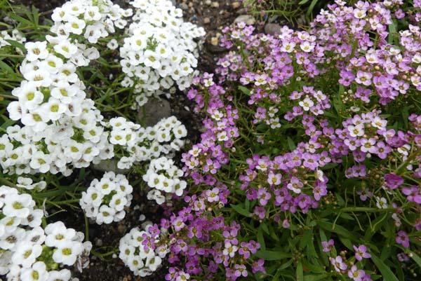 植物園再開 芍薬など花・花・花_e0048413_18083015.jpg