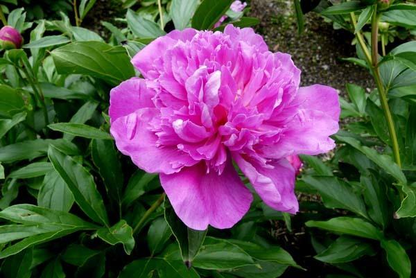 植物園再開 芍薬など花・花・花_e0048413_18091063.jpg
