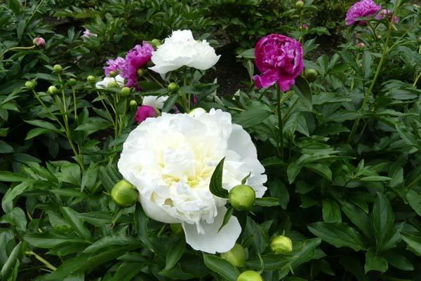 植物園再開 芍薬など花・花・花_e0048413_18091575.jpg