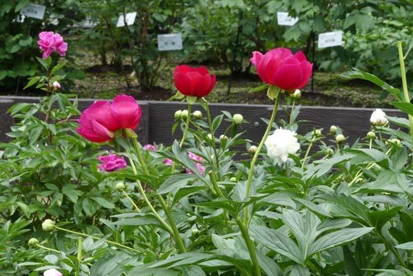 植物園再開 芍薬など花・花・花_e0048413_18092046.jpg