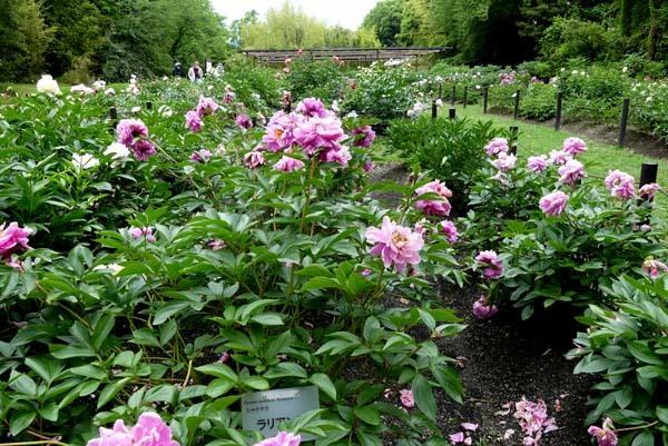 植物園再開 芍薬など花・花・花_e0048413_18092488.jpg