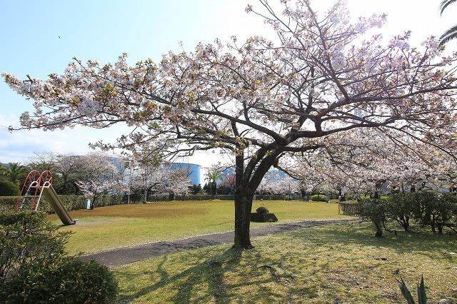 桜咲く尾鷲三田工事所 庭園散歩(その1)(撮影:4月10日)_e0321325_15191620.jpg