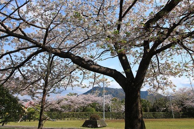 桜咲く尾鷲三田工事所 庭園散歩(その1)(撮影:4月10日)_e0321325_15202552.jpg