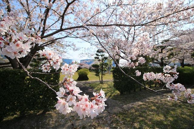 桜咲く尾鷲三田工事所 庭園散歩(その1)(撮影:4月10日)_e0321325_15210624.jpg